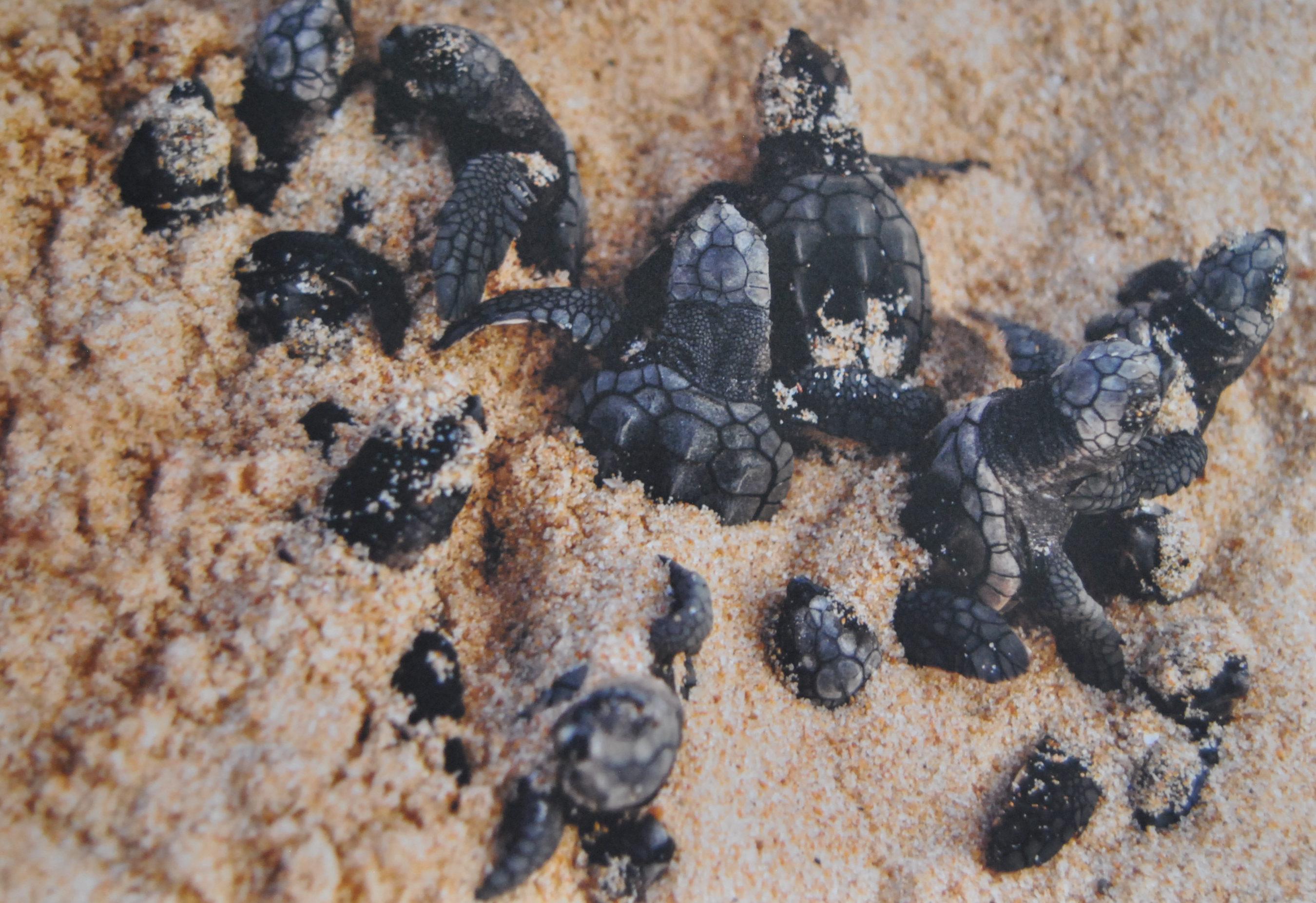 Tartarugas Projeto Tamar