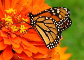 borboleta monarca ottawa