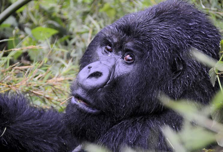 Gorila Ruanda